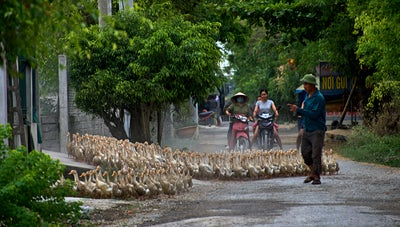 Ducks being herded on the streets of Vietnam
