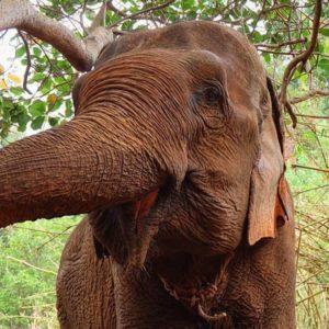 Elephant Sambo in Mondulkiri