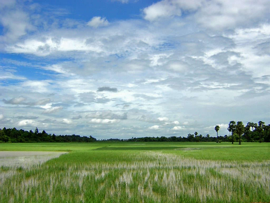 rice fields of Kampong Thom