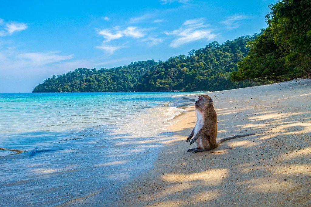 Monkey on the beach - Thailand