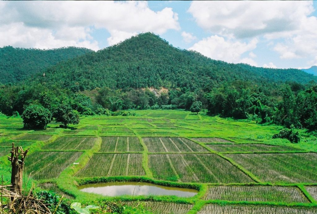 Green rice paddies with a mountain backdrop